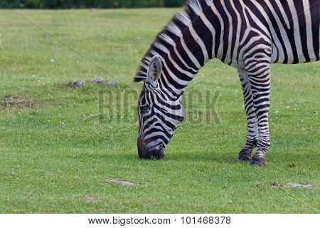The Beautiful Close-up Of A Zebra