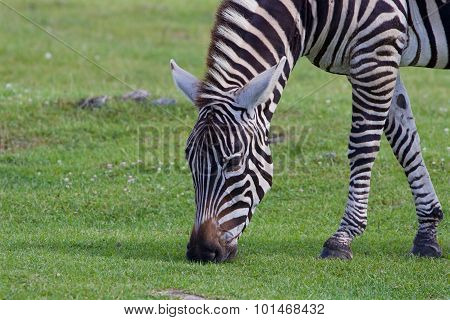 Theclose-up Of A Zebra Eating The Grass