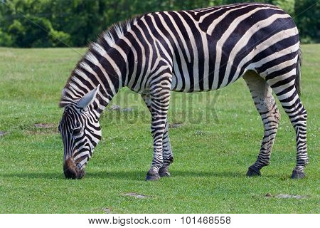 The Zebra Is Eating The Grass