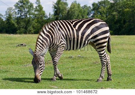 Zebra Is Going Through The Grass Field