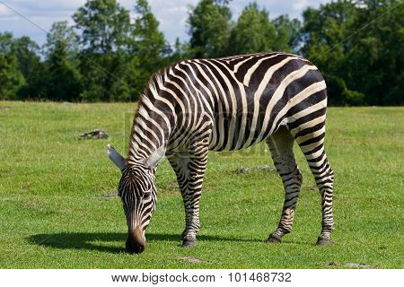 Zebra Is Staying On The Grass