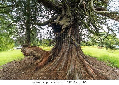 Old tree in Scotland