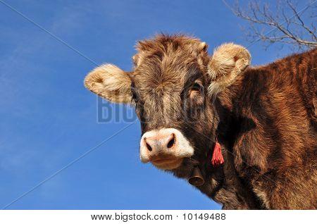 The calf.