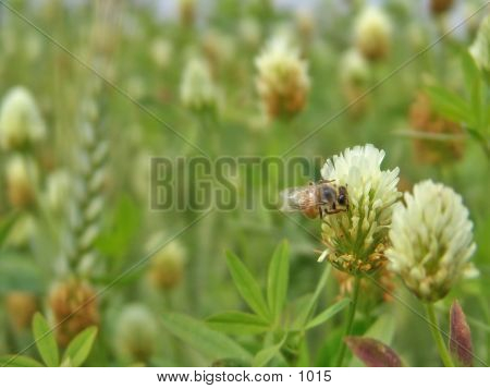 Bee On A Wheat Flower