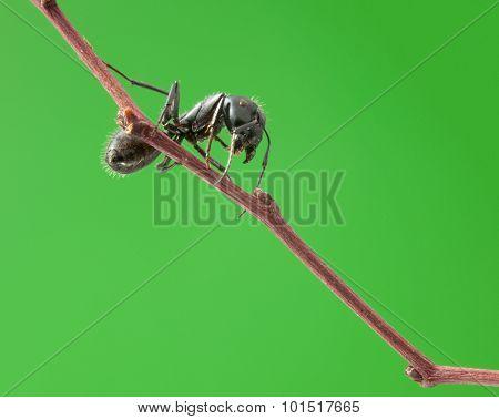 Ant On Tree Twig