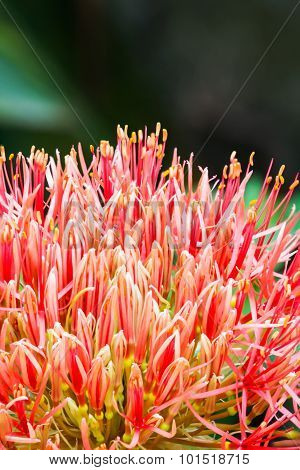 Blood Flower, Powder Puff Lily Close-up Background Texture