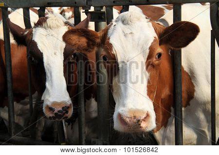 Cows are calm animals