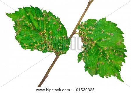 Lime nail gall - Eriophyes tiliae