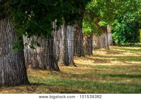 Old Trees In City Park
