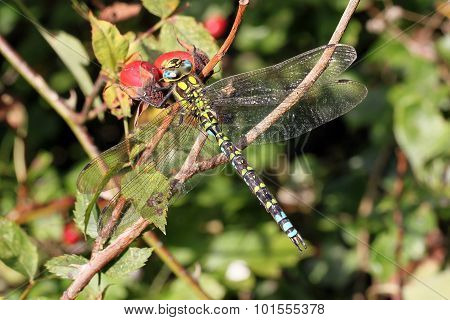Dragonfly Resting With Its Wings Spread.