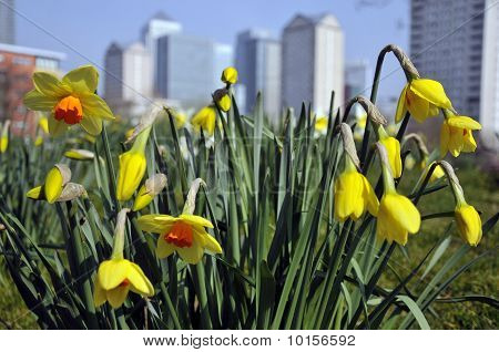 Daffodils and Docklands