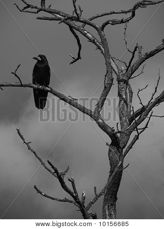 black raven on a tree over dark clouds poster