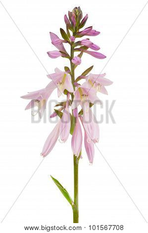 Hosta (Funkia or Plantain Lily) Flower Spike On White Background