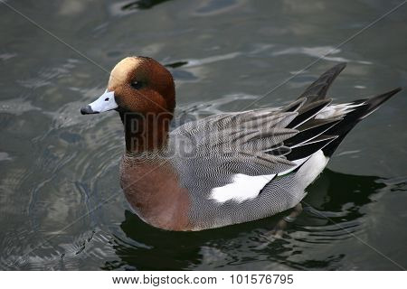 Wigeon duck floating on water