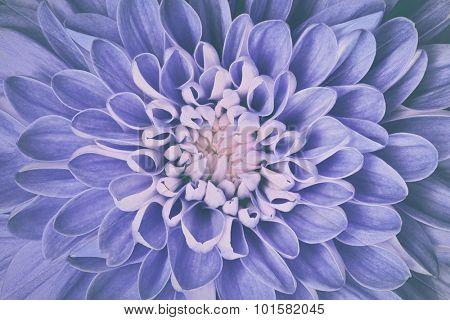 Dahlia flower petals pattern close-up. Vintage, faded blue floral background