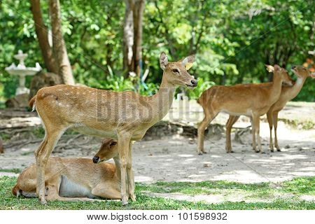 group of brow antlered deer in the public zoo poster