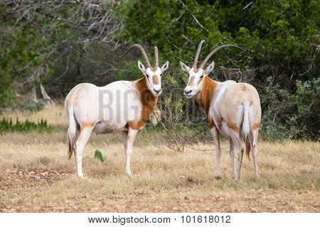 Scimitar Horned Oryx Bull And Cow
