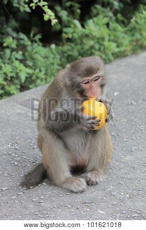 Monkey In Kam Shan Country Park, Hk