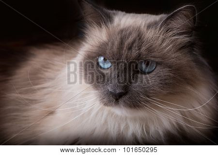 Beautiful Neva Masquerade cat portrait. Adult purebred siberian cat. poster