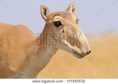 Portrait Of Female Wild Saiga Antelope In Kalmykia Steppe