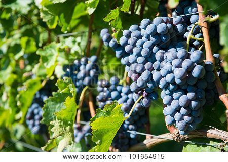 bunch of grapes for redwine on vine at autumn