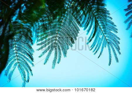 Mimosa (Acacia dealbata) or also known as silver wattle, blue wattle, leafs under a summer sky. Intentionally shot in bluish impressional tone. Shallow depth of field.