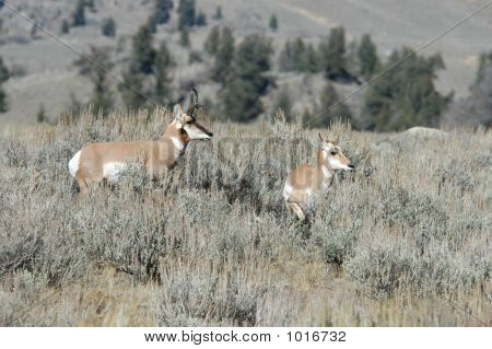 Pronghorn With Its Young