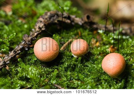 Wolfs milk Lycogala epidendrum slime mould macro selective focus poster