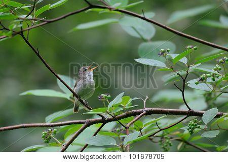 Singing Blyth's Reed Warbler