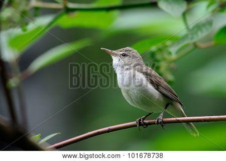 Perching Blyth's Reed Warbler