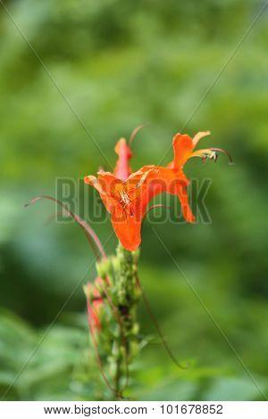 mexican honeysuckle