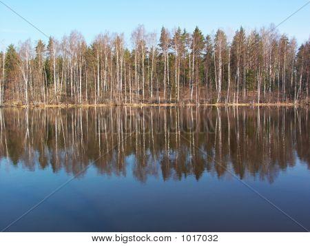 Birches Reflection