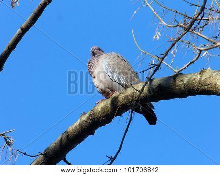 Lonesome pigeon