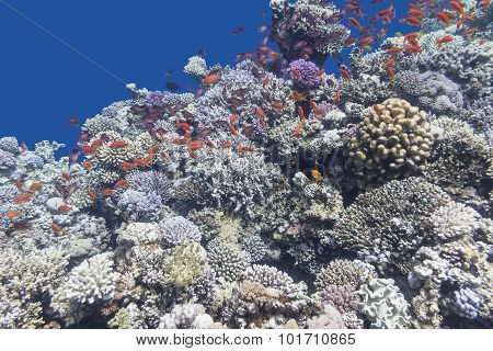 Colorful Coral Reef With Shoal Of Fishes Anthias , Underwater