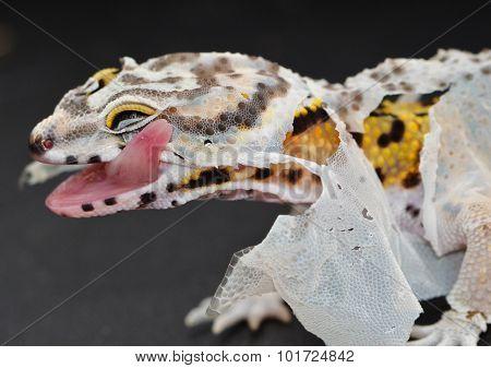 A juvenile leopard gecko shedding its skin