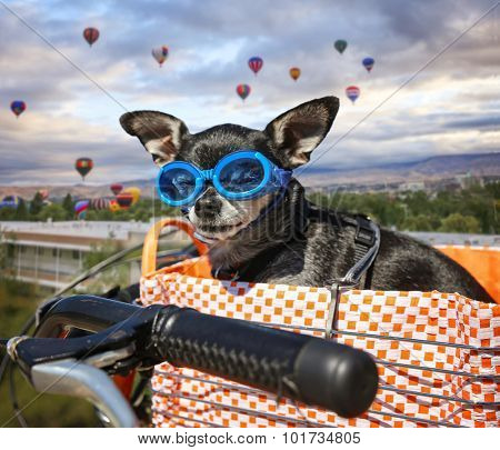 a cute chihuahua in a bike basket with goggles on in front of a background full of hot air balloons during summer time toned with a retro vintage instagram filter app or action effect