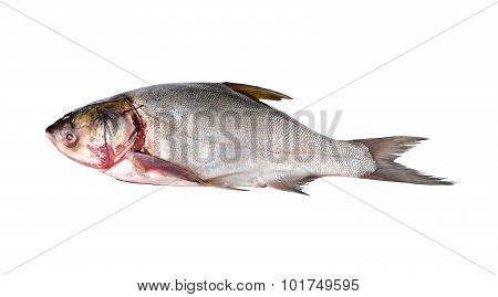 Whole Round Sliver Carp Fish On White Background