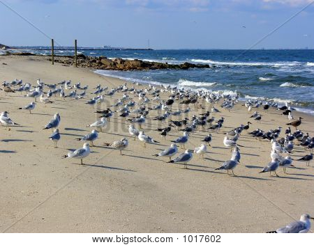 sea gulls; nature's effective beach cleaning machine. poster