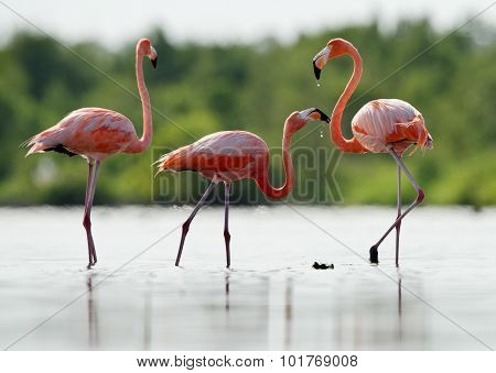 The Pink Caribbean Flamingo Drink Fresh Water.