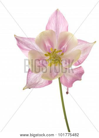 Beautiful flower aquilegia delicate pink stamens with lemon isolated on a white background poster