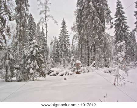 Winter Forest. Snow Clearing