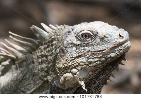 Iguana Portait