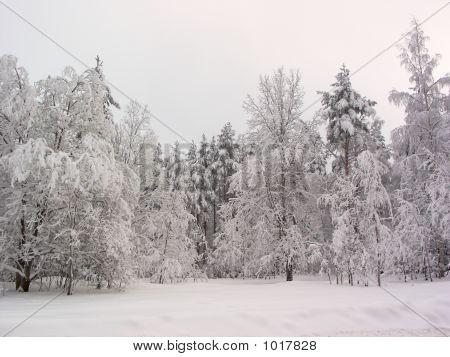 Winter Forest. Snow Field