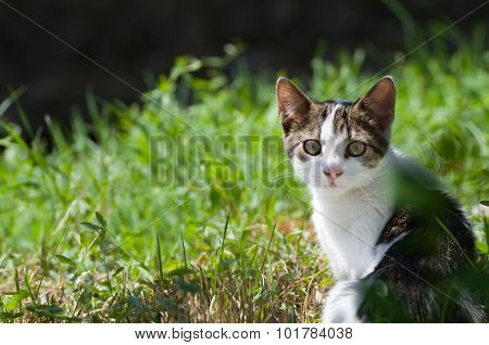 Dun Cat Watching In Grass