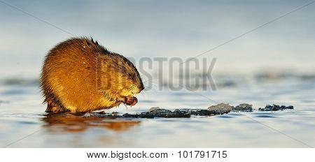 Eating Muskrat