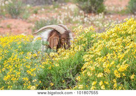 Boerbok Eats Flowers