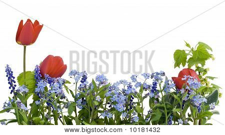 Border From Myosotis And Tulips
