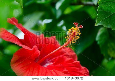 Red Hibiscus
