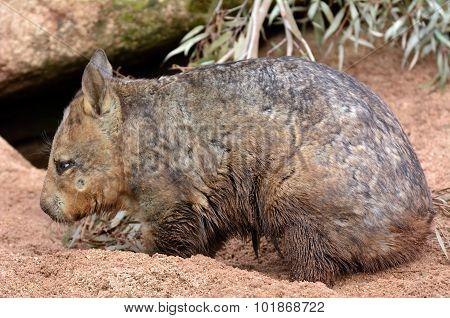 Wombat quadrupedal marsupials native to Australia dig a burrow in its natural habitat.