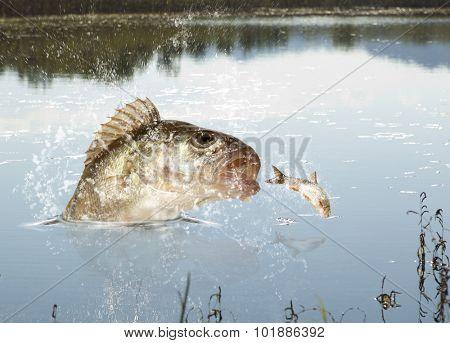 Big river perch (Perca fluviatilis). River predator